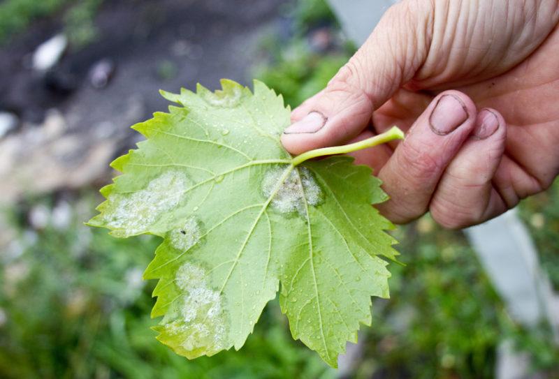 Тщательно проверять виноградник на предмет обнаружения различных заболеваний или присутствия вредителей