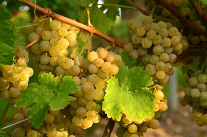 Действие холодной температуры на виноград