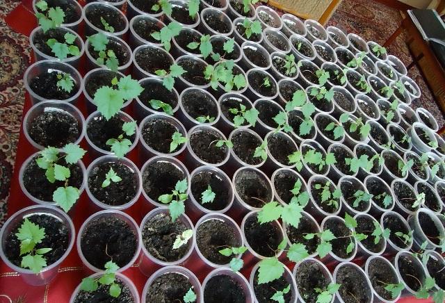 Выращивание винограда из косточек