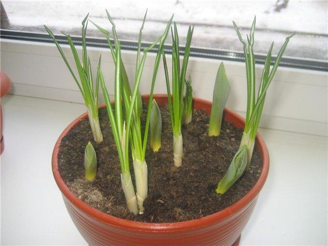 Перемещение тюльпанов в более теплое место для ускорения момента начала цветения.