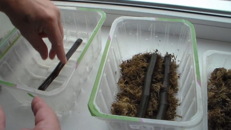 Размножение с помощью черенков