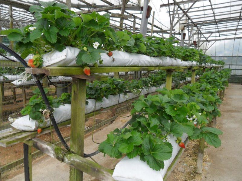 Уникальная технология выращивания клубники в мешках