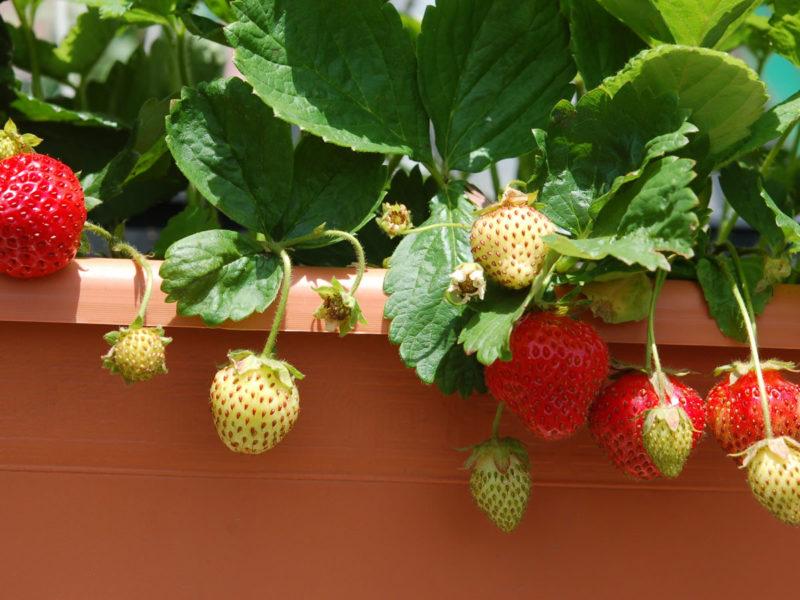 Домашнее выращивание рассады