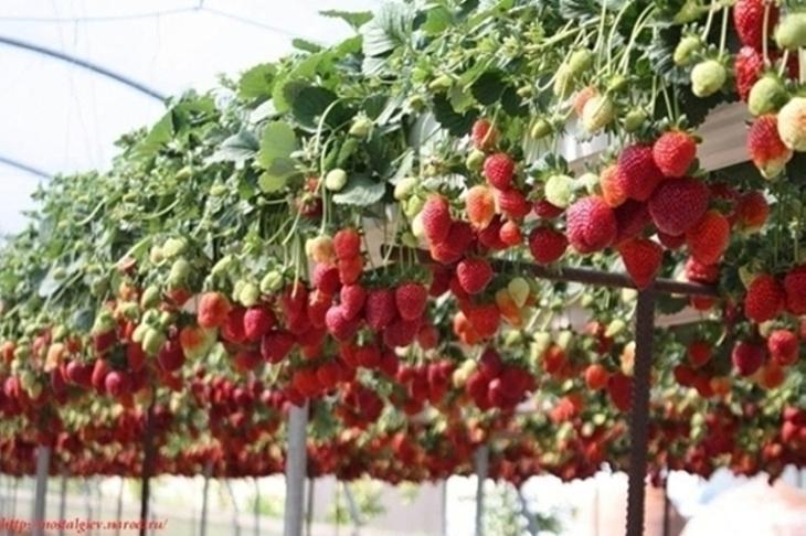 Уникальная технология выращивания клубники в мешках фото