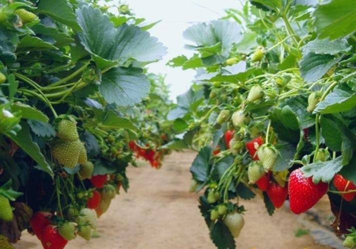 Преимущества горизонтального выращивания клубники в мешках