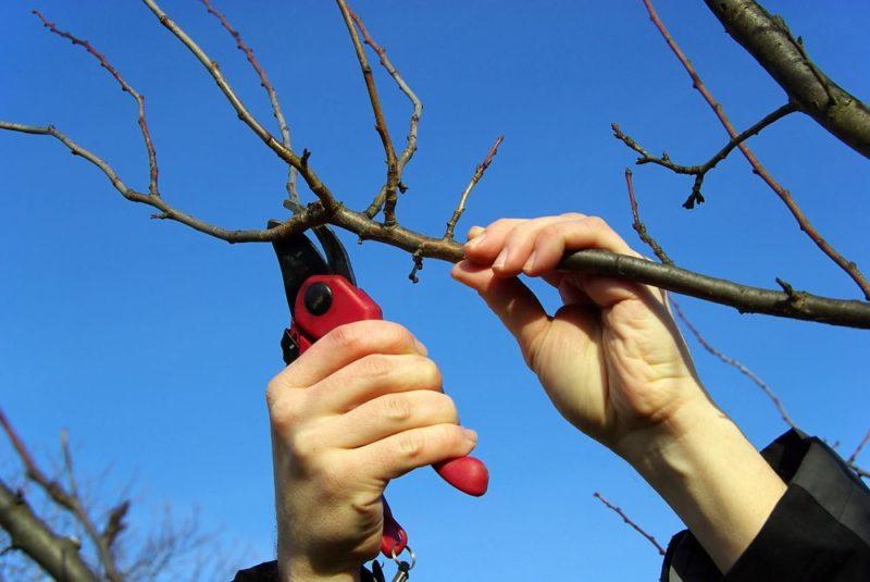 Ветви должны быть обрезаны под углом в 45 градусов.