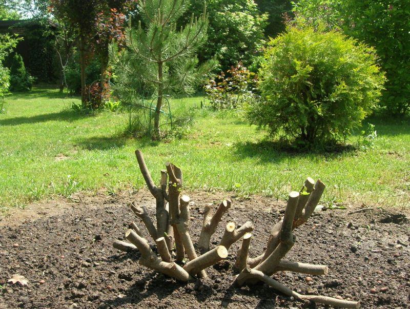 Плановая обрезка инжира осенью помогает растению подготовиться к холодному периоду. 