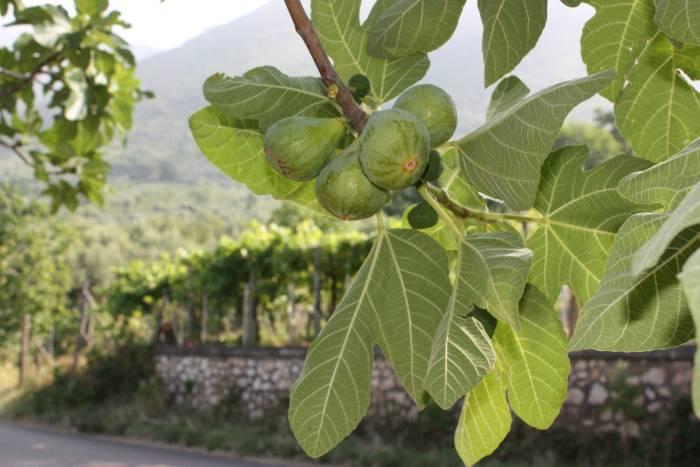 Одна плодоносная ветка иногда одновременно создает фиги на трех этапах развития.