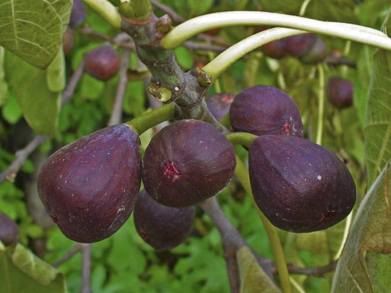 Из-за более укороченного жаркого периода весенние побеги не смогут наполниться питательными веществами и дозреть к сентябрю-ноябрю месяцу.