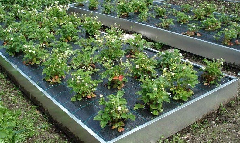 Они должны быть невысокими (высота 10-30 см), чтобы не затенять овощные растения в начале роста