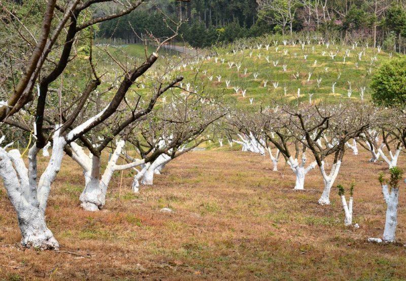 Обрезка помогает в формировании новых веток и помогает распределить энергию дерева равномерно.